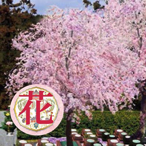 【花】千年桜